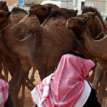 Descubren botox y cirugía estética en concurso de belleza de camellos (VIDEO)