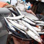 Produce: Temporada de pesca de anchoveta respeta talla mínima