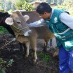 Apurímac: Más de 39 mil bovinos vacunados contra la rabia durante el 2017