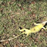 Frio polar en EEUU: Decenas de Iguanas congeladas caen desde los árboles (VIDEO)