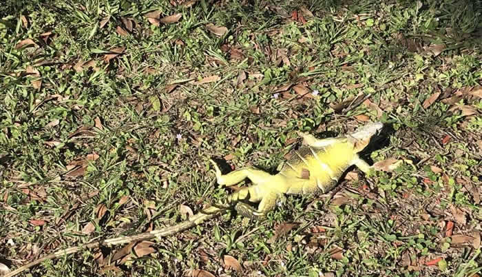 Iguanas se congelan en Florida — Ciclón bomba