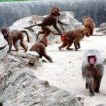 Francia: Policía con tiradores de éliteevacua zoo por fuga de 50 monos