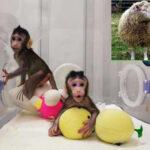 Clonan a dos primates con la misma técnica con que se creó la oveja Dolly