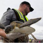 EEUU: Liberan a casi 400 tortugas rescatadas y rehabilitadas del frío polar.
