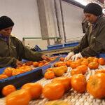 Perú es el primer exportador de mandarina y tangelo de América