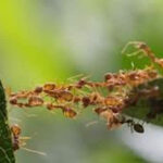 Antibióticos producidos por las hormigas podrían aplicarse a humanos