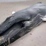 EEUU: Mar vara cadáver de ballena jorobada en Queens y cierran la playa al público