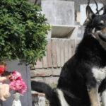 """Argentina: Murió """"Capitán"""" el perro que veló durante una década la tumba de su amo"""