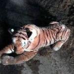 Escocia: Realizan operativo espectacular para atrapar a un tigre… ¡de peluche! (VIDEO)