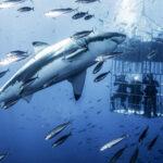 Un tiburón gigante ataca a buzos en el océano Pacífico