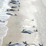 Argentina: Murieron 49 de los 68 delfines que quedaron varados en playa de Puerto Madryn (VIDEO)