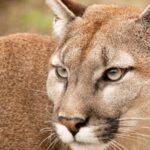 Hallan por primera vez un puma en segundo parque nacional más antiguo de Perú