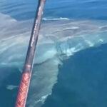 EEUU: Gigantescotiburón blanco se pasea frente a pescadores de Florida (VIDEO)