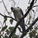 Avistan por primera vez un águila blanca y negra en Perú