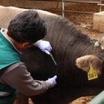 Apurímac: Más de 58 mil bovinos serán vacunados contra el carbunco sintomático