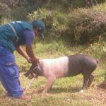 SENASA registra 11,548 cerdos vacunados contra peste porcina en Apurímac