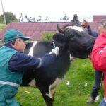Pequeños productores de Apurímac se benefician con jornada de vacunación contra carbunco