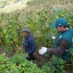MINAGRI recomienda limpieza permanente de cultivos para prevenir plaga de roedores
