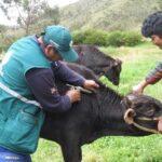 Se intensifica vacunación contra el brote de carbunco en Karkatera, Abancay