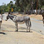 Los humanos empezaron a domar burros hace más de 4.000 años, según estudio