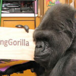 EEUU: A los 46 años murió la gorila Koko que entendía lenguaje de los signos (VIDEO)