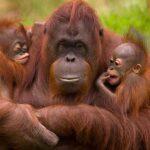 Humanos jugaron papel clave en la reducción de orangutanes hace 20.000 años