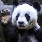 Hallan restos de un panda gigante de 22.000 años de un linaje desconocido