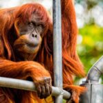 Muere en un zoo australiano el orangután más viejo del mundo