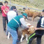 MINAGRI previene la rabia vacunando 500 animales en Mariscal Gamarra