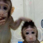 China lanza un centro de investigación para la clonación de primates