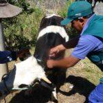 Senasa Apurímac vacuna a más de 26 mil bovinos para prevenir carbunco