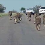 Sudáfrica: Turista filma el mayor desfile de leones visto en Parque Nacional de Kruger (VIDEO)