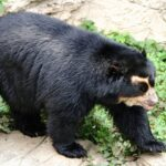 Guardaparques registran a oso de anteojos en reserva natural del Cusco