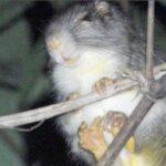 Avistan rara especie de roedor en las cercanías de Machu Picchu