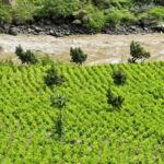 Informe de la ONU señala que cultivos de coca en Colombia alcanzan nivel récord (VIDEO)