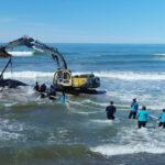 Argentina: Tras maratónico rescate de 28 horas devuelven al mar a ballena varada de 7 toneladas (VIDEO)