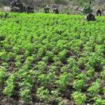 Ayacucho: Policía erradica 8,000 plantones de marihuana en el Vraem (VIDEO)
