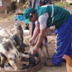 Apurímac: Acciones contra peste porcina beneficia a más de 6 mil porcicultores