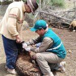 SENASA evalúa población de ovinos en Apurímac para descarte de enfermedades