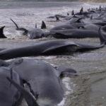 Nueva Zelanda: 145 ballenas piloto perecen tras quedar varadas en una playa (VIDEO)