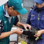 Más de 49 mil aves vacunadas contra enfermedad de Newcastle en Apurímac