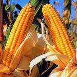 OEFA detecta cultivos de maíz amarillo transgénico en costa norte del país