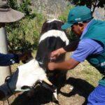 Senasa vacuna más de 43 mil bovinos contra carbunco sintomático en Apurímac