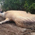 Hallazgo desconcertante en Brasil: Ballena apareció muerta en medio del río Amazonas (VIDEO)