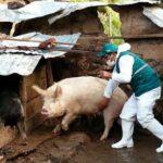 Apurímac: Senasa atenderá a más de 59 mil cerdos para prevenir peste porcina