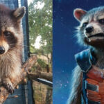 "EEUU: Muere mapache Oreo que emuló a Rocket Raccoon en ""Guardianes de la Galaxia"" (VIDEO)"