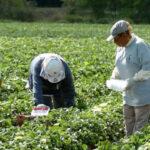 Líderes empresariales de Florida cuestionan leyes antiinmigrantes contra trabajadoresdel agro