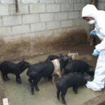 SENASA mantiene bajo control brote de peste porcina en Abancay