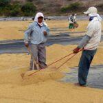 INEI: Producción de arroz cáscara se incrementó 23.1% en marzo