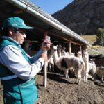 MINAGRI intensifica atención a ganado alpaquero en zonas altoandinas de Apurímac
